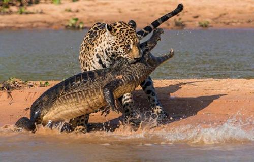 악어를 사냥한 재규어