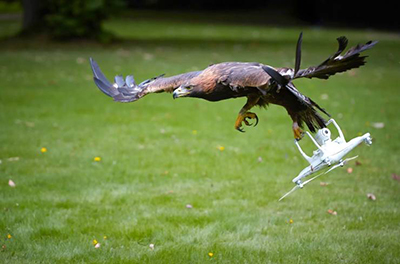 드론을 공격하는 독수리