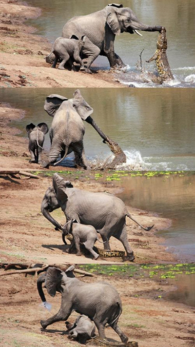 코끼리를 공격하는 악어
