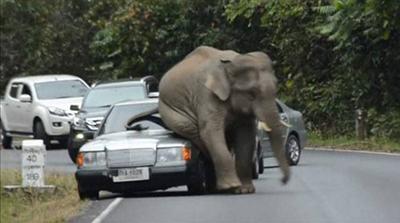 차량을 깔아뭉갠 코끼리