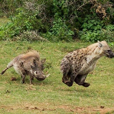 하이에나를 공격하는 멧돼지
