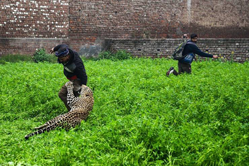 사람을 공격한 야생 표범