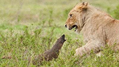 사자를 위협하는 몽구스의 패기